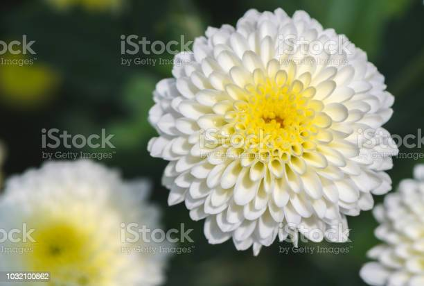 Closed up of white chrysanthemum flower with yellow picture id1032100862?b=1&k=6&m=1032100862&s=612x612&h= c rtnfi2gaeuvyfjvdzxjk7mby9yvr metoanpxttu=