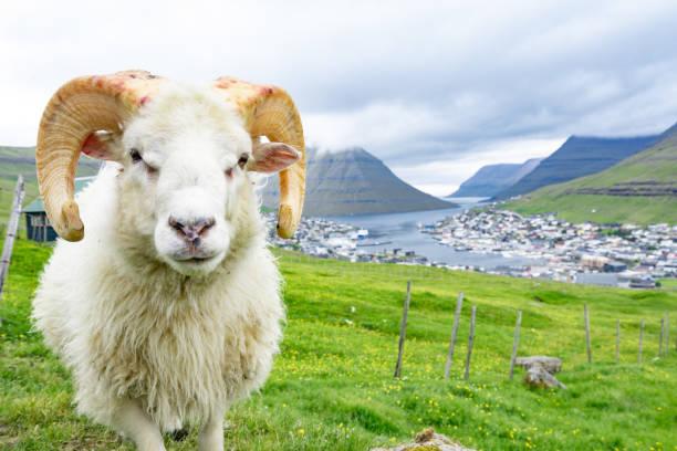 witte ram in landbouw schapenboerderij met groen gras en hoge berg met stad op de achtergrond met bewolkt weer lucht in faeröer landelijke sloot - faeröer stockfoto's en -beelden