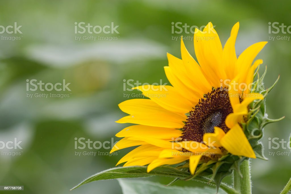 Closed up sun flower in blured green background. stock photo