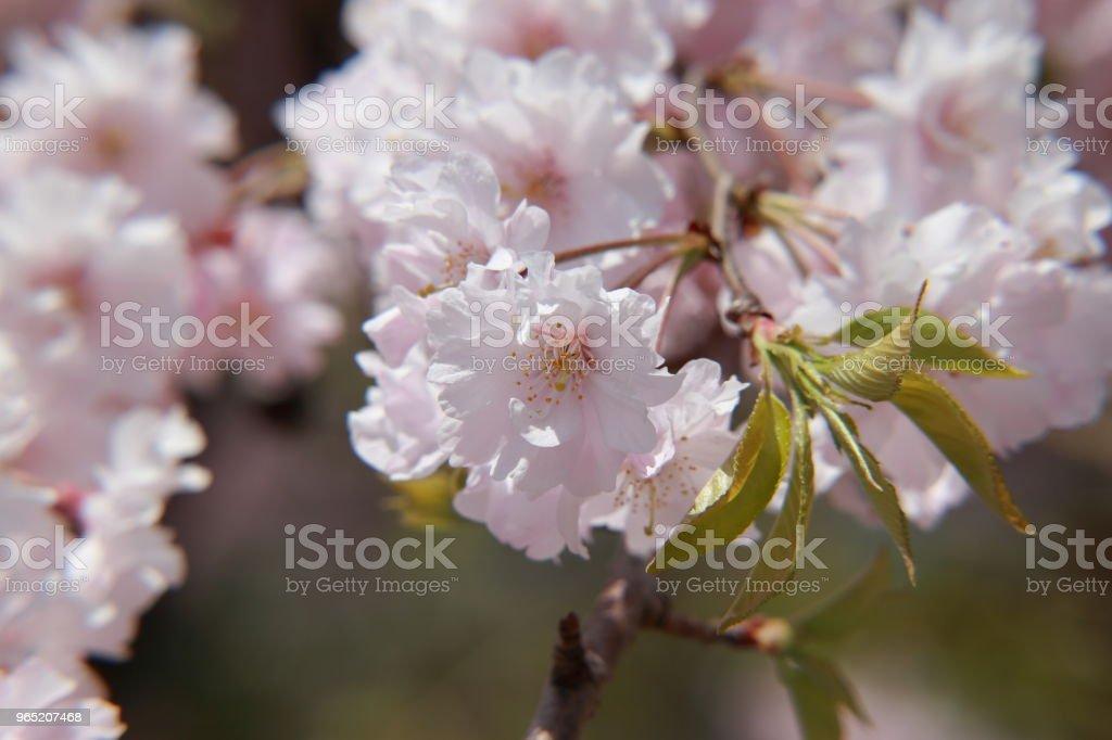 Closed-up cherry blossom zbiór zdjęć royalty-free