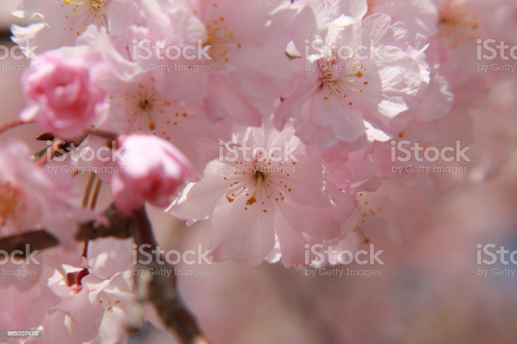 Closed-up cherry blossom royalty-free stock photo