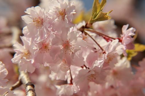 Closedup Cherry Blossom - zdjęcia stockowe i więcej obrazów Bez ludzi