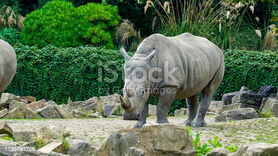 Closer look of the white rhinoceros walking. The white rhinoceros or square-lipped rhinoceros is the largest extant species of rhinoceros.