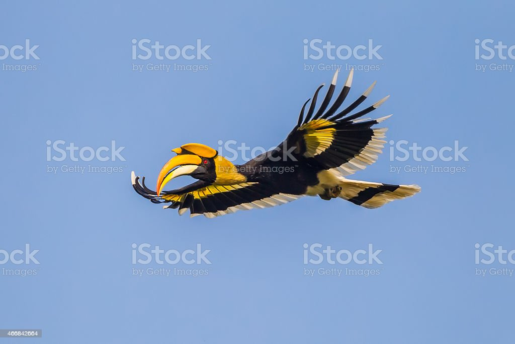 Closes Up Of Full Open Wings Of Flying Great Hornbill Stock Photo Download Image Now Istock