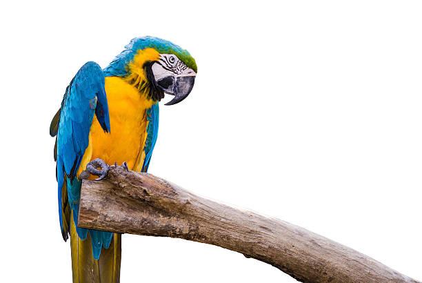Closeup a beautiful macaw stock photo