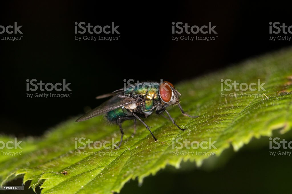 Close-up - a bluebottle fly is sitting on a green leaf zbiór zdjęć royalty-free