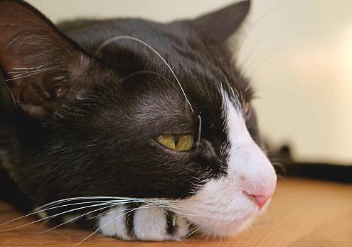 Closeup a Cute Tuxedo Cat Relaxing on Wooden Floor