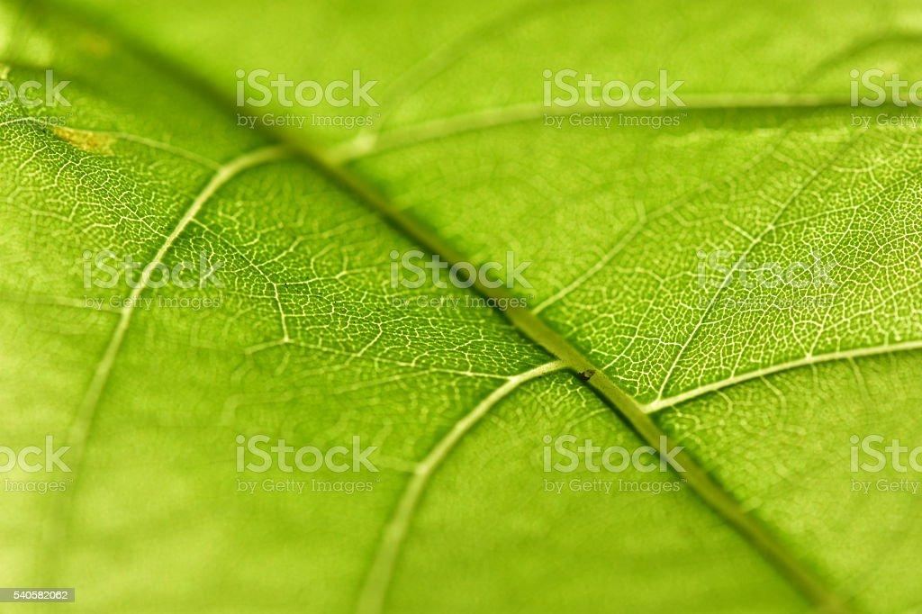 Close-up a Pisonia Grandia leaf stock photo