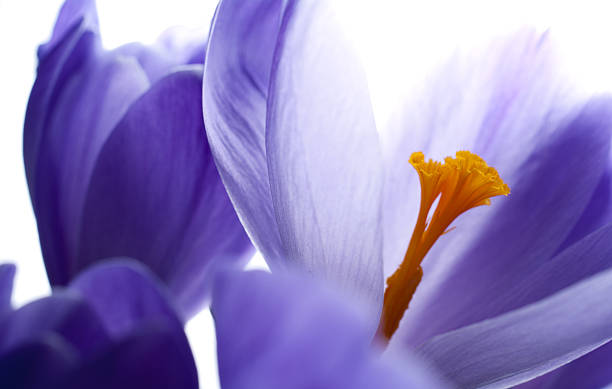Close-up abstract view of a purple crocus in bloom stock photo
