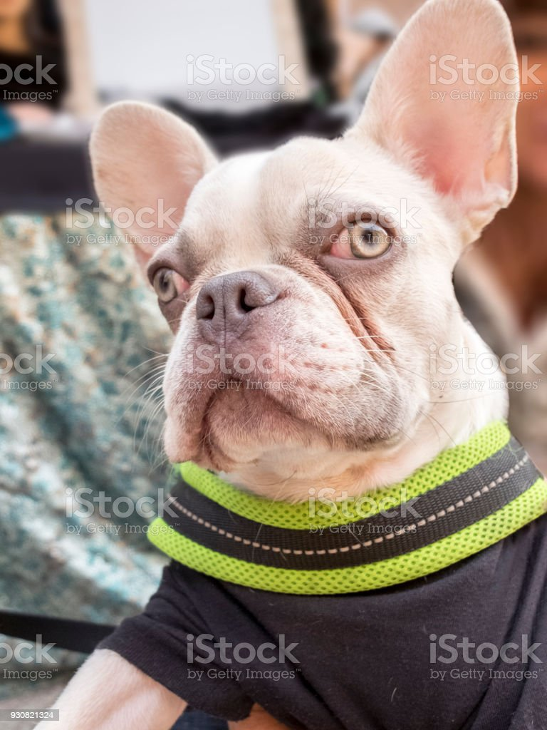 Close-up albino french bulldog breed dog puppy. Wearing black onesie with green edge. stock photo