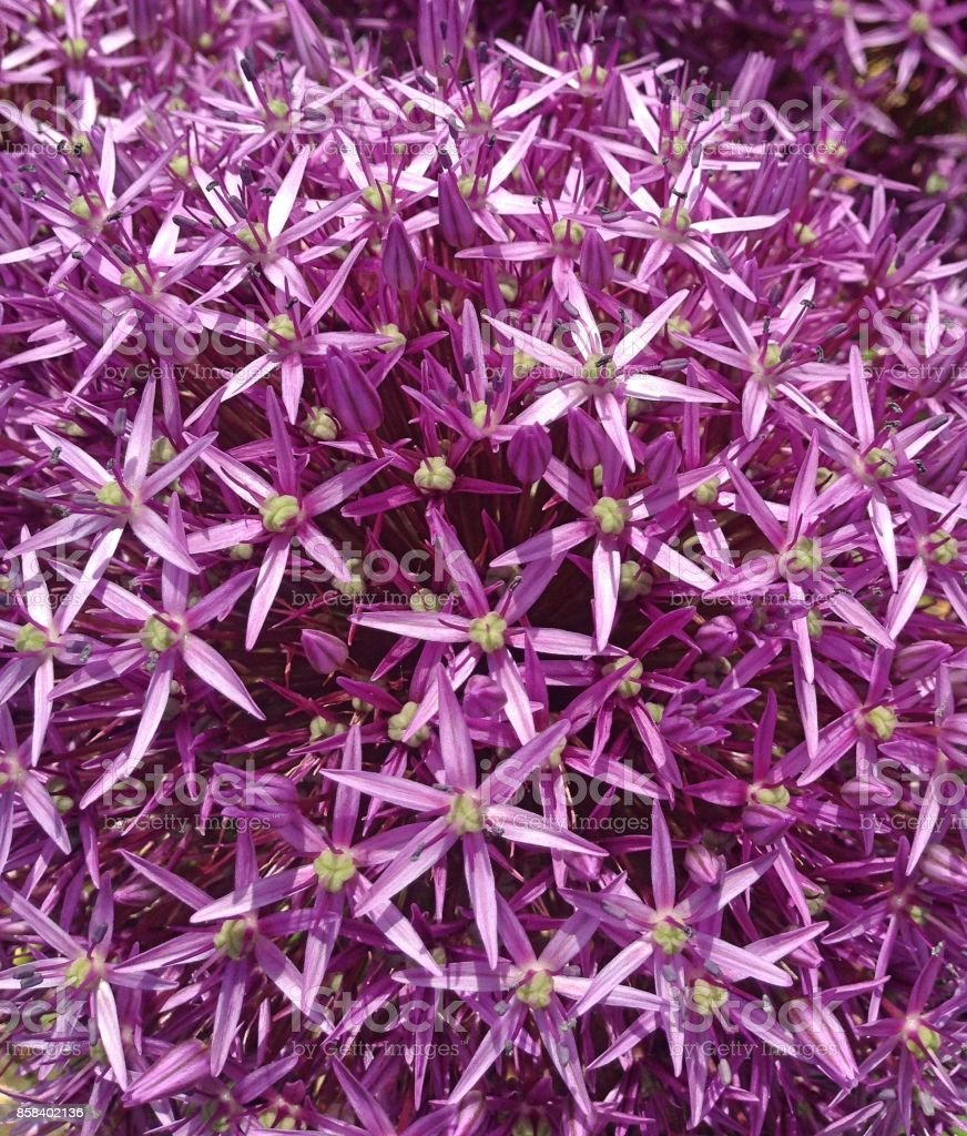 Closeup Allium Purple Sensation bloemen​​​ foto