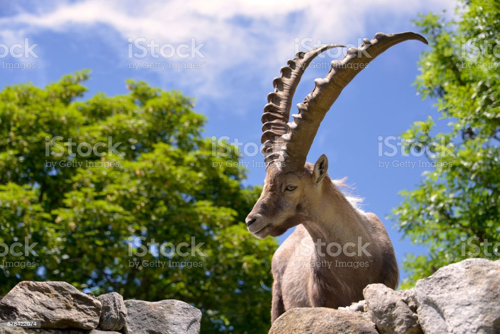 Closeup Alpine ibex stock photo
