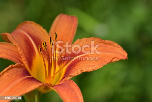 Close-up and detail shot of an orange lily with yellow bee pollen