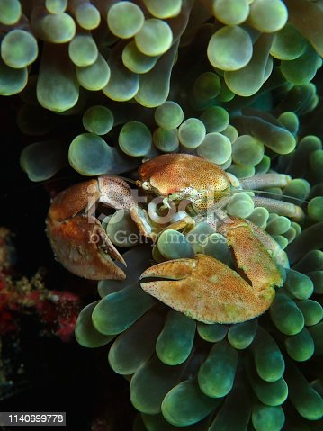 Porcelain crabs are decapod crustaceans in the widespread family Porcellanidae, which superficially resemble true crabs. They have flattened bodies as an adaptation for living in rock crevices.
