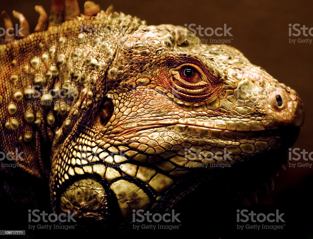 Close-Up and Portrait Shot of Green Iguana royalty-free stock photo