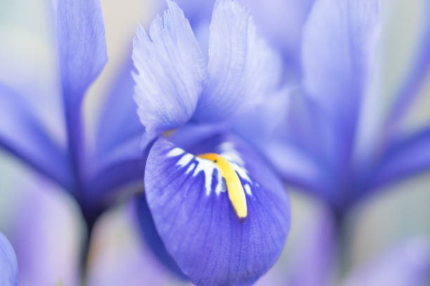 close-up and selective focus of iris blossom - iris flower stock photos and pictures