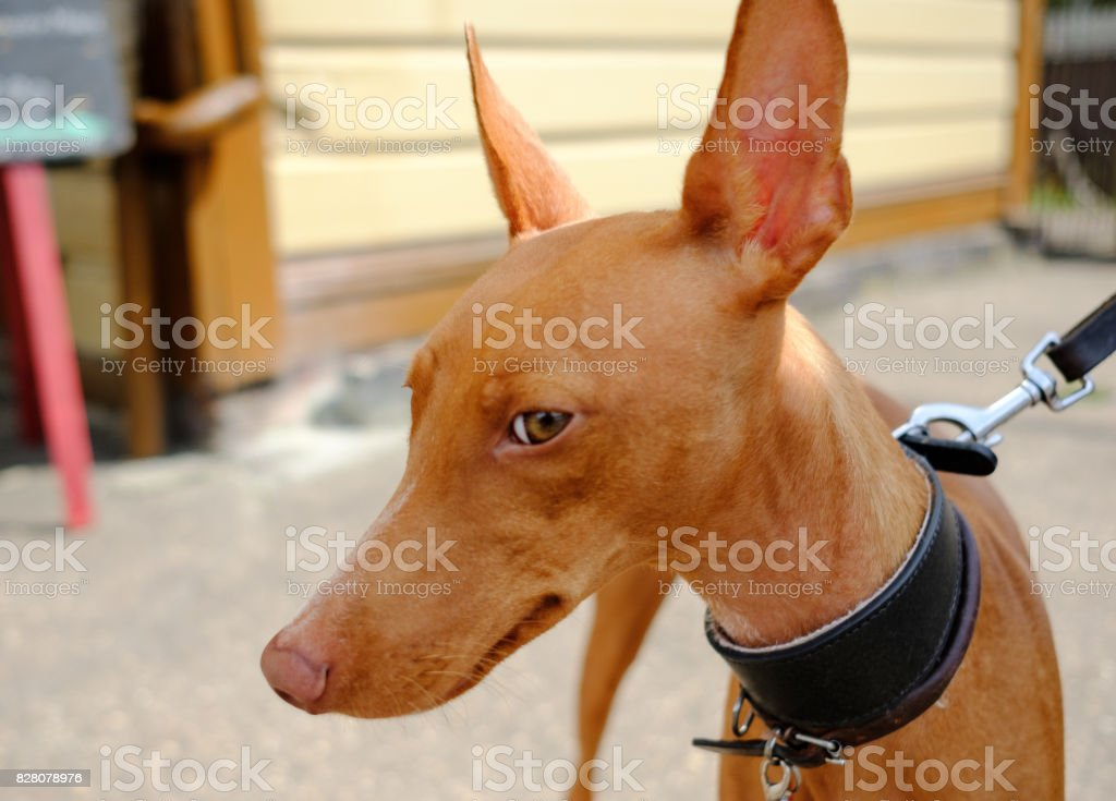 Close-up and shallow focus view of a Cirneco dell'Etna Sicilian hunting hound dog, showing the short fur, large ears and long snout. stock photo