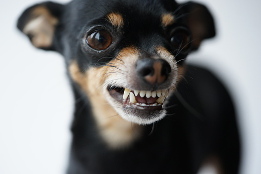 Close-up angry little black dog of toy terrier breed on a white background.Macro photo,selective focus.