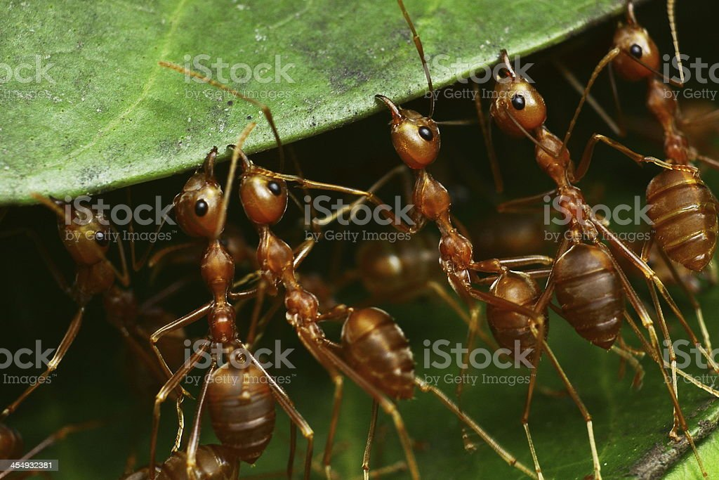 Closeup ant Red stock photo