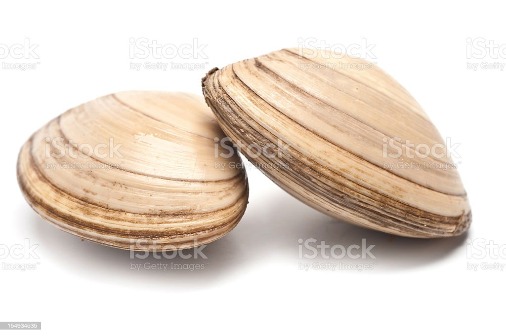 Closeup arrangement of two brown sea clams  royalty-free stock photo