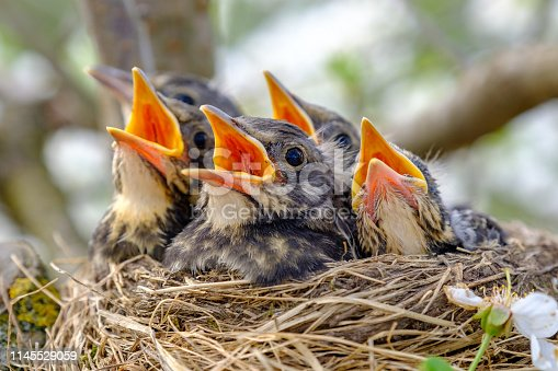 Closeup baby birds with wide open mouth on the nest. Young birds with orange beak, nestling in wildlife.