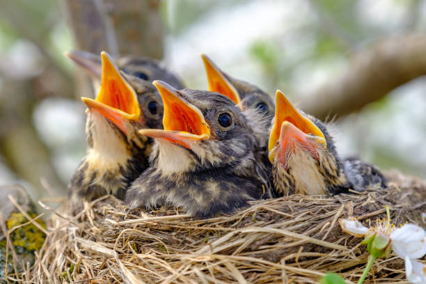 Closeup baby birds with wide open mouth on the nest. Young birds with orange beak, nestling in wildlife. stock photo
