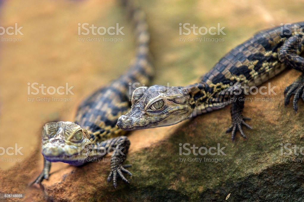629e7ce3f Closeup Baby Crocodile Stock Photo   More Pictures of Aggression ...