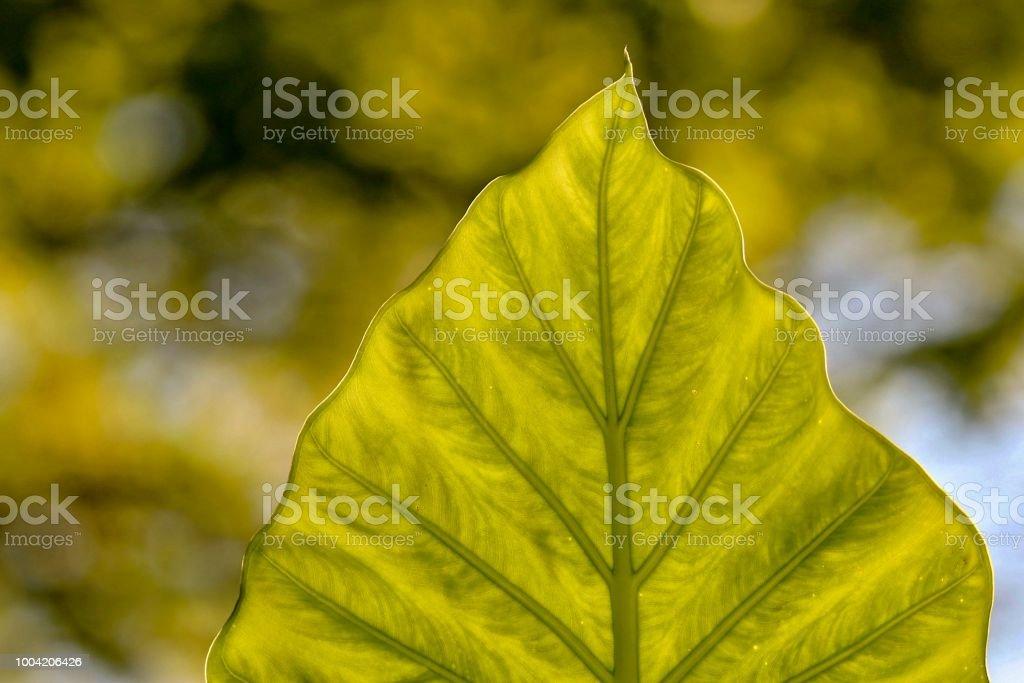 Close-up, Backlit Large Lime Green Leaf stock photo