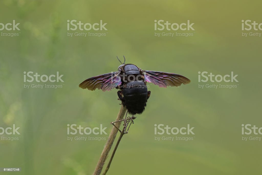 Closeup backside of violet carpenter bee on branch stock photo
