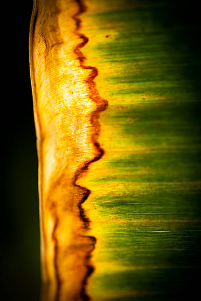 Close-up Banana Leaf stock photo