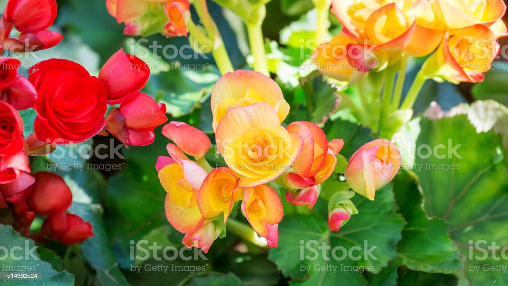 Close-up Beautiful begonias in the garden. stock photo