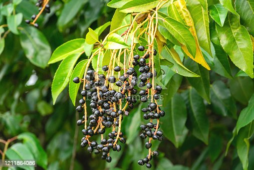 Close-up beautiful branch with black berries of Prunus lusitanica (Portuguese laurel) with evergreen leaves in park of  Massandra Palace, Crimea