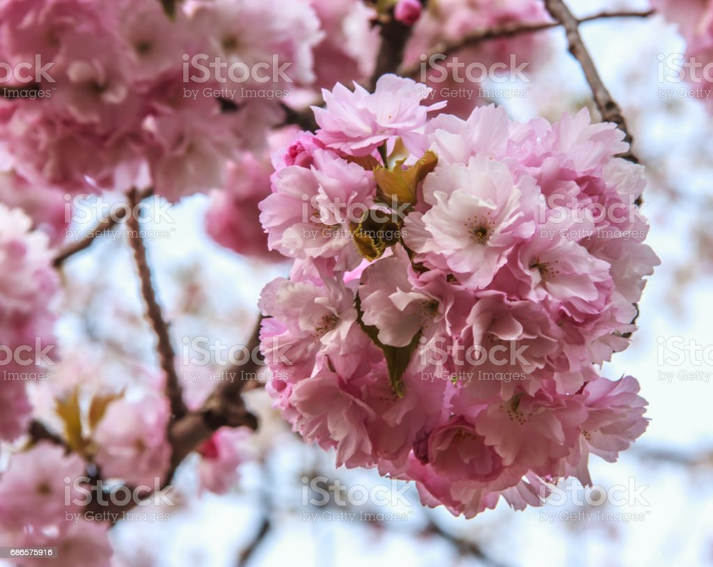 Close-up beautiful pink cherry blossom flowers in during the spring season in Japan photo libre de droits