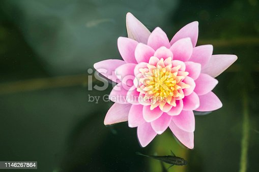 Closeup beautiful pink lotus flower in pond background