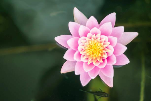 närbild vacker rosa lotus blomma i dammen bakgrund - carpel bildbanksfoton och bilder