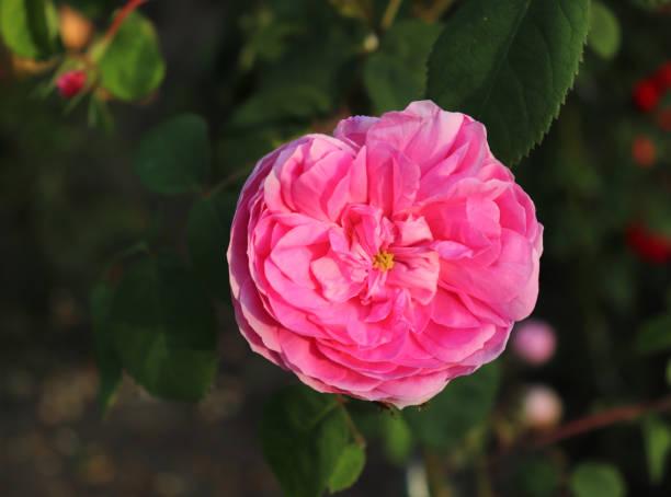 nahaufnahme schöne rosa rose giardina, fotografiert im bio-garten mit verschwommenem laub. natur und rosenkonzept. - abschiedswünsche stock-fotos und bilder