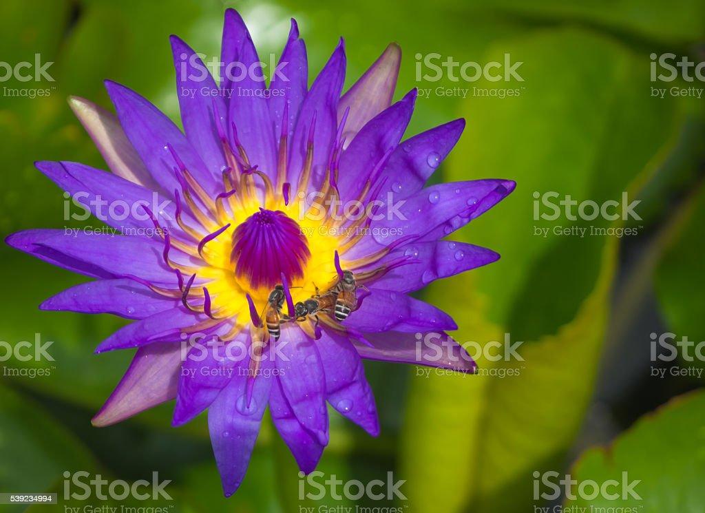 Acercamiento hermosa loto púrpura foto de stock libre de derechos