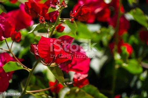 Close-up beautiful red pink Bougainvillea flowers in City park Krasnodar. Galitsky Park in sunny spring 2021. Bougainvillea flowers as wallpaper texture pattern background. Selective close-up focus