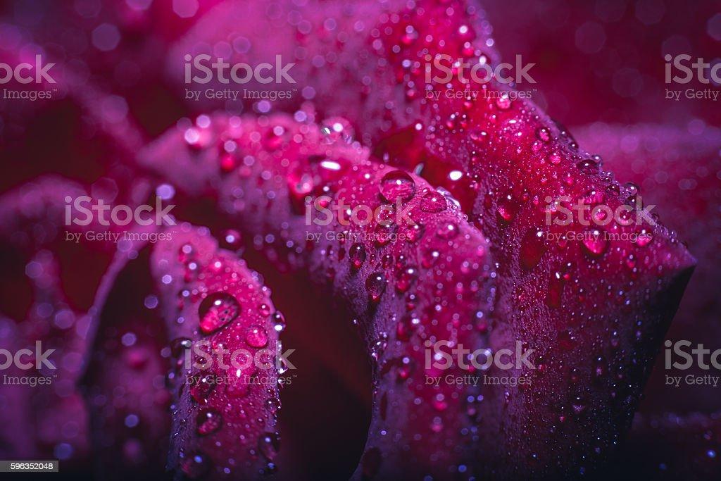 close-up schöne rose mit Wassertropfen  Lizenzfreies stock-foto