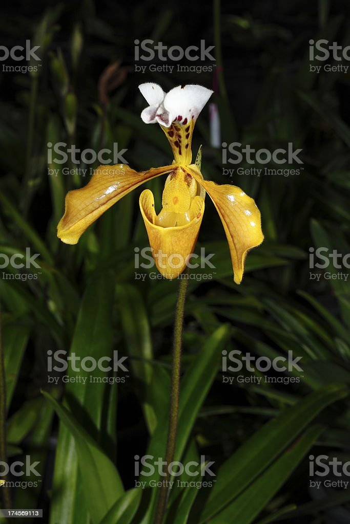 Closeup Beautiful slipper orchid royalty-free stock photo
