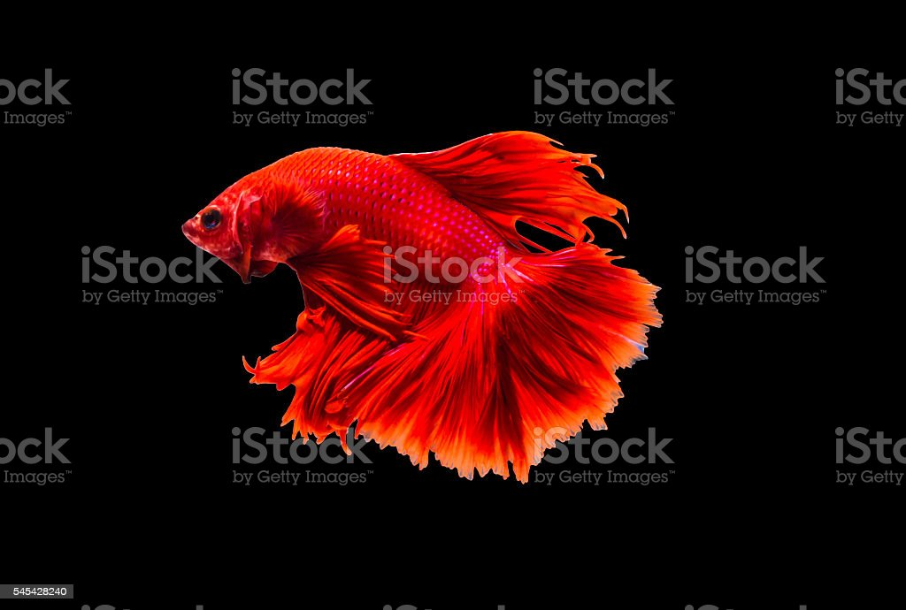 closeup beautiful small siam betta fish with isolate background royalty-free stock photo