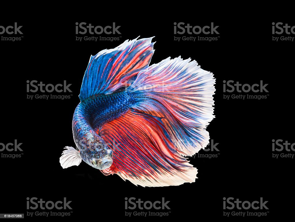 closeup beautiful small siam betta fish with isolate background stock photo