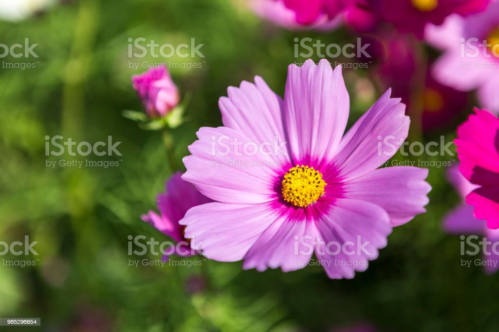 Closeup beautiful spring flower blooming with morning light over blurred green garden background zbiór zdjęć royalty-free