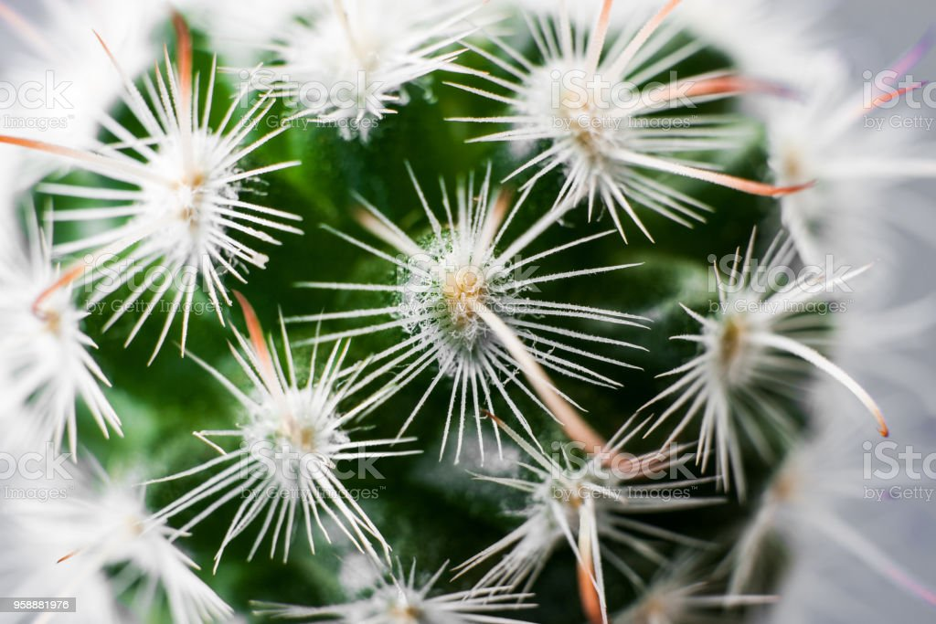Close-up beautiful texture of Echinocereus cactus with white thorns and long orange leaves. stock photo