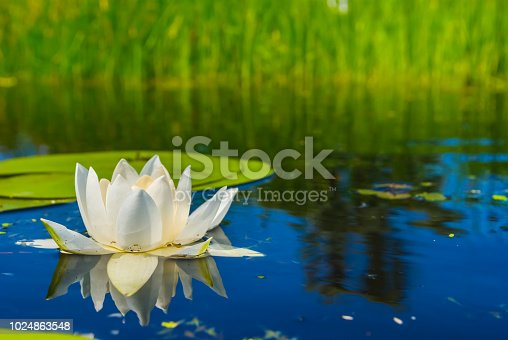 closeup beautiful white water lily in a lake
