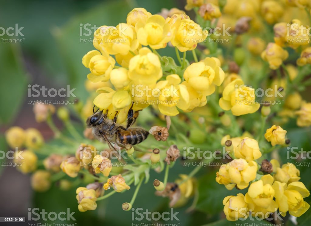 close-up bee on mahonia blossoms - spring stock photo