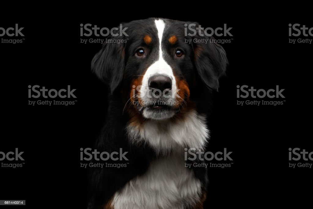 Close-up Bernese Mountain Dog panting in front of isolated black background - Photo