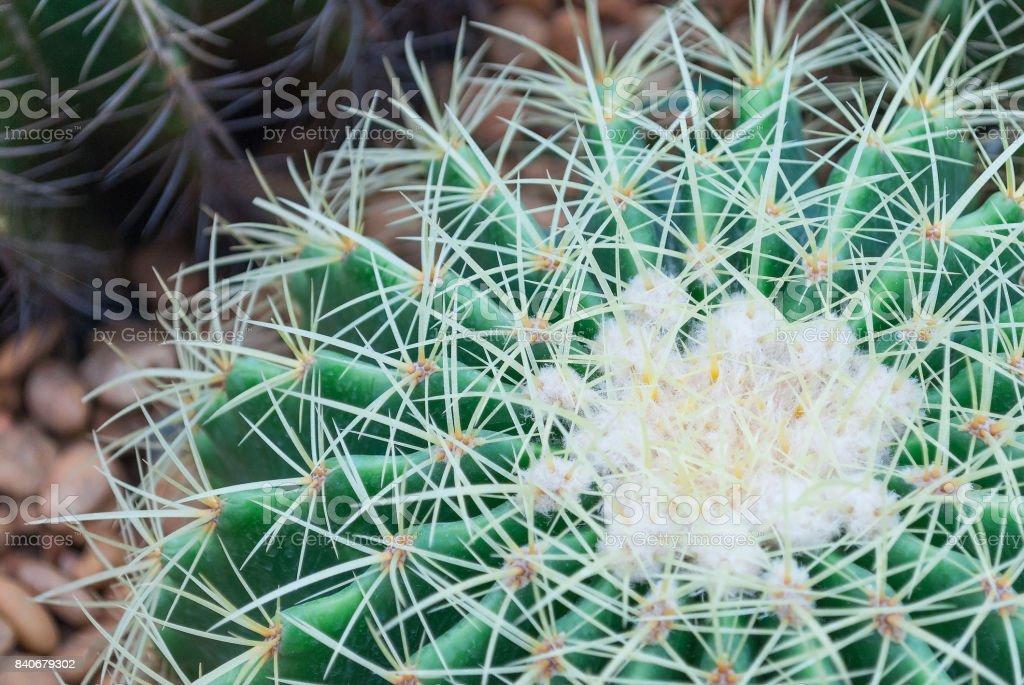 Closeup big head circle cactus background in the garden stock photo