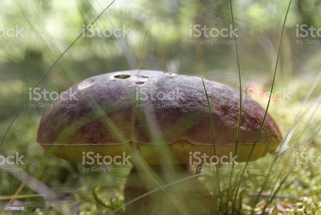 Closeup big mushroom stock photo