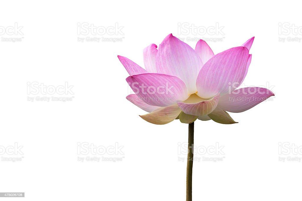 Close-up big pink lotus stock photo